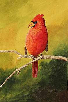 Northern Cardinal by Nelson Hammer