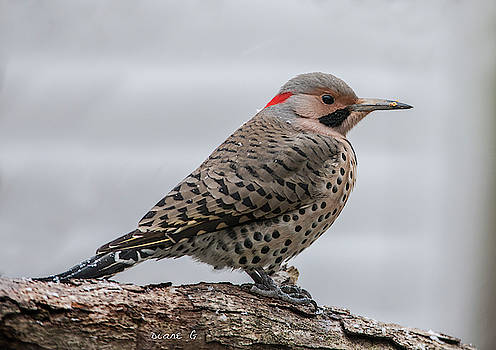 Northern Flicker Woodpecker by Diane Giurco