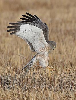 Northern Harrier Attacks by William Jobes