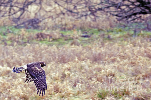 Northern Harrier in Flight by Natural Focal Point Photography