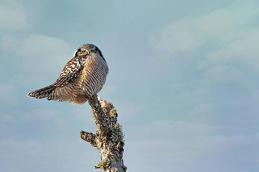 Susan Rissi Tregoning - Northern Hawk Owl