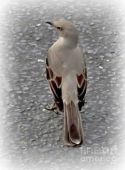 Northern Mockingbird 1 by JudithAnne Monahan