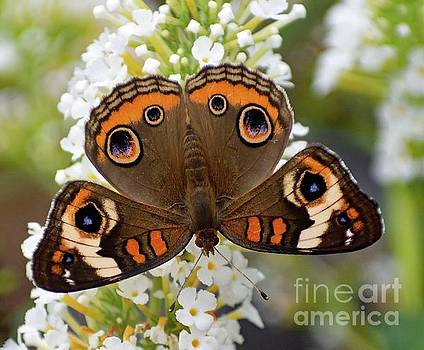 Cindy Treger - Nothing Common About The Common Buckeye Butterfly