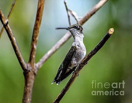 Cindy Treger - Observant Ruby-throated Hummingbird
