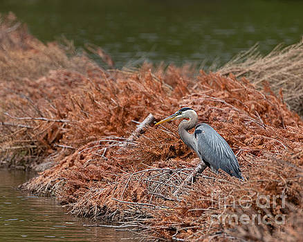 Observing Great Blue Heron by Alma Danison