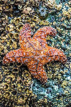 Ochre Sea Star, Starfish by Jordan Hill