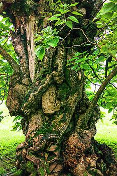 Old Catalpa Tree _ Chatham_3893_18 by Tari Kerss