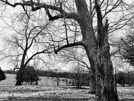 Old Hickory Trees and Farm by Peggy Leyva Conley