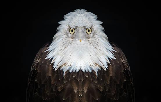 Pelo Blanco Photo - Old Man Eagle