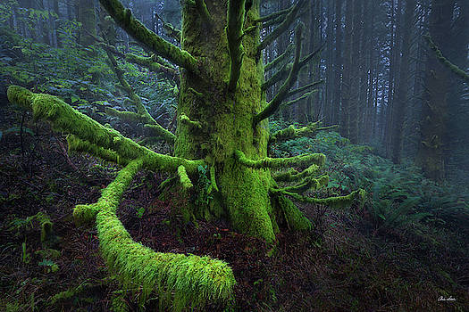 Old Man Of The Forest by Chris Steele