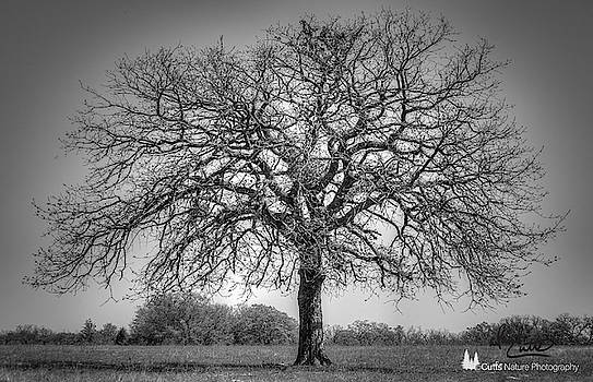 Old Oak by David Cutts