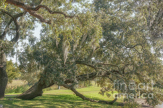 Old South - Quercus Virginiana by Dale Powell