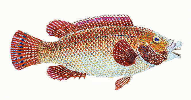 David Letts - Old Wife Wrasse