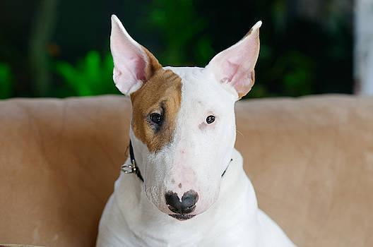 Ollie the Bull Terrier by Diane Giurco