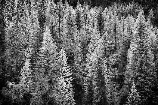 Jon Glaser - One Of Many Alp Trees