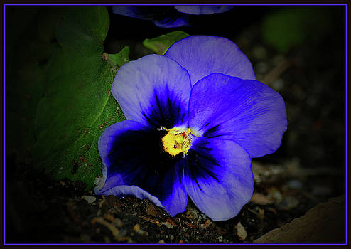 One Purple Pansy by Constance Lowery