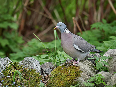 One Wood pigeon on the rocks please by Jouko Lehto