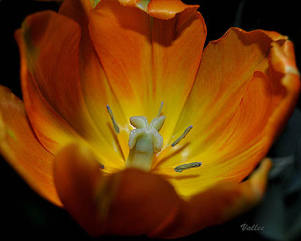 Open Tulip 2 by Vallee Johnson