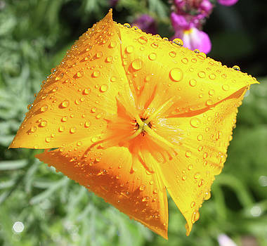 Orange California Poppy with Droplets  by Deborah Kinisky