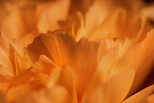 Orange Carnation Macro by Keith Smith