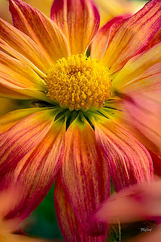 Orange Daisy by Fred J Lord