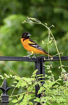 Orange Delight - Baltimore Oriole  by Cindy Treger