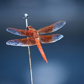 Orange Dragonfly by Eric Tressler