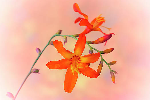 Orange Elegance by Silvia Marcoschamer
