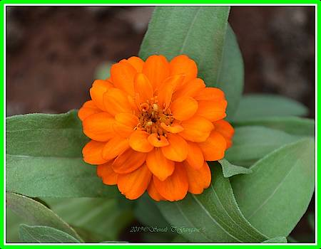 Orange Flower Mandala by Sonali Gangane