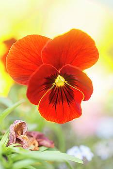 Orange Garden Pansy by Iris Richardson