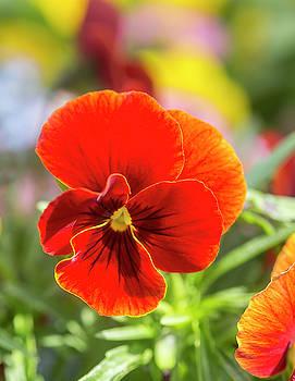 Orange Pansy  by Iris Richardson