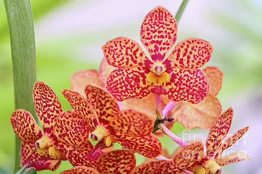 Orange Spotted Orchids by Rory Ivey