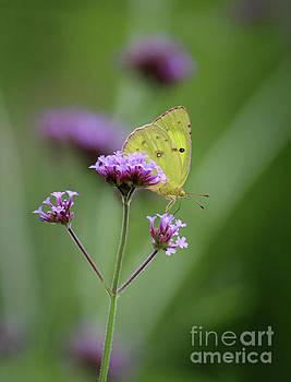 Orange Sulphur Butterfly on Verbena by Karen Adams