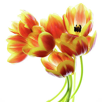 Orange Tulip Bouquet by Rebecca Cozart