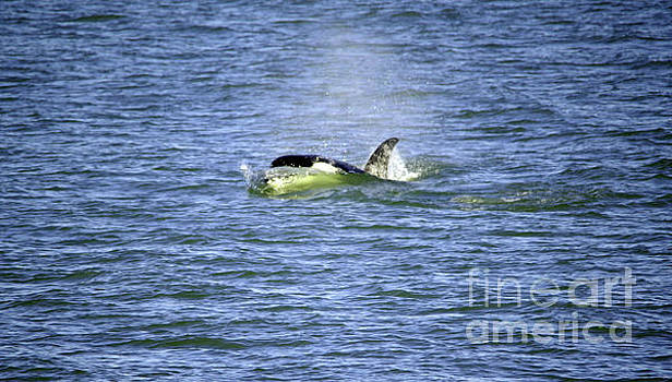 Orca cutting through the water by Jeff Swan