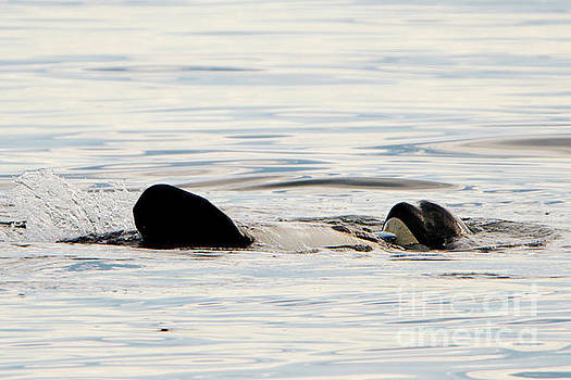 Orca Family Time by Mike Dawson