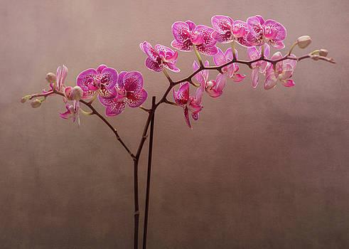 Rosette Doyle - Orchid 6
