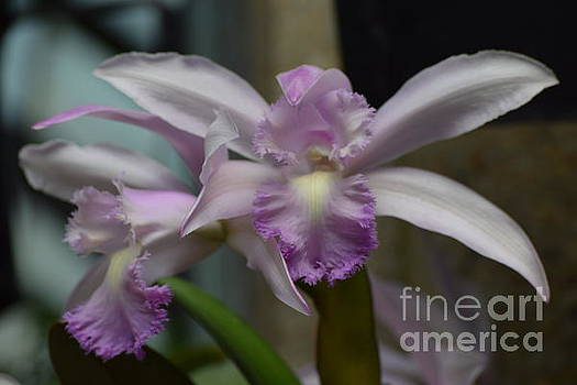 Orchid in lavender  by Jeannie Rhode