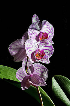 Orchids - 1 by Paul MAURICE