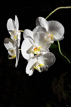 Orchids - 2 by Paul MAURICE