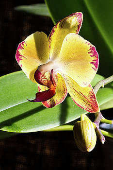 Orchids - 4 by Paul MAURICE