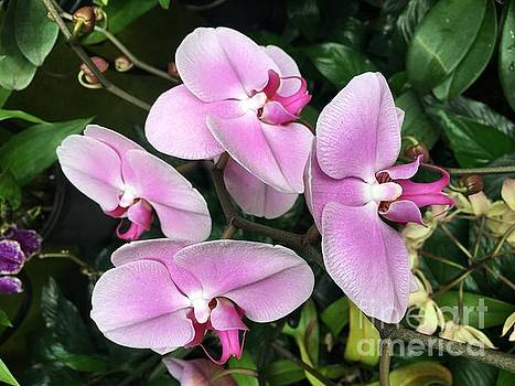 Orchids in Spring by Jeannie Rhode