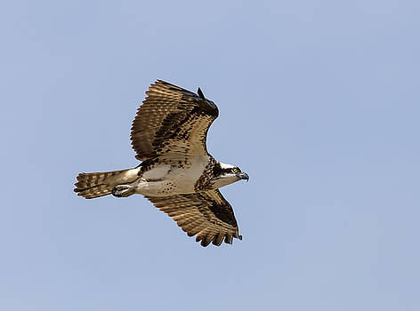 Osprey 2019-4 by Thomas Young