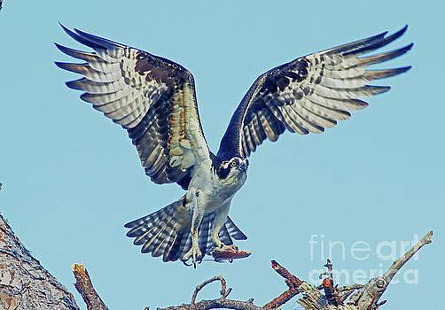Osprey above nest by Larry Nieland