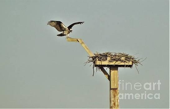 Osprey aka Fish Hawk Landing At Nest               May            Indiana by Rory Cubel