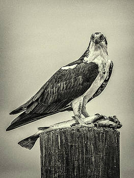 Andrew Wilson - Osprey And Its Catch