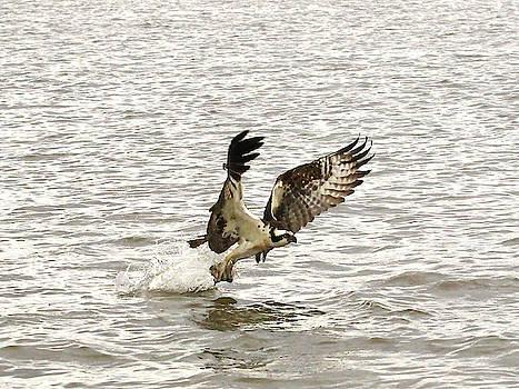 Brian Cole - Osprey Fishing