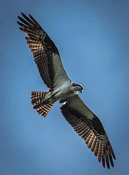 Osprey in Flight by Jeffrey Klug