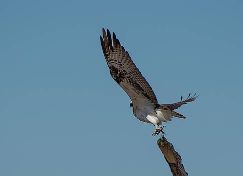Osprey Liftoff by Su Buehler