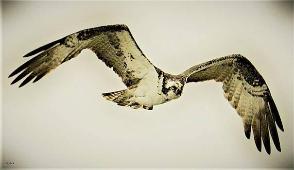 Osprey Lurks by John R Williams